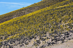 Desert Gold. Desert wildflowers in Death Valley National Park Stock Images
