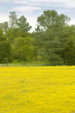 Desert gold yellow flowers in brightly colored spring field off Highway 58 East of Santa Margarita, CA Stock Photo