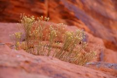 Desert grass. Royalty Free Stock Photos
