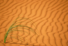 Desert grass. A growing plant on sand in the desert with a sand pattern as a background- region of merzouga in southern Morocco stock photos
