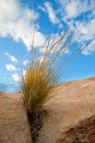 Desert grass on a rock Royalty Free Stock Image