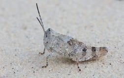 Desert grasshopper Royalty Free Stock Photography