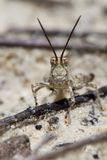 Desert grasshopper Stock Photos