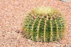 Desert gravel landscaping with a Golden Barrel Cactus. Desert gravel landscaping with Golden Barrel Echinocactus grusonii cactus plant stock image