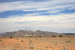 Desert Grazing Cattle. Cattle grqzing in a desert pasture on a hot sunny day Stock Images