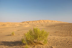 Desert with green. A green bush in the desert one Royalty Free Stock Image