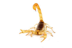 Desert Hairy Scorpion. Royalty Free Stock Photography