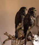Desert hawk Royalty Free Stock Image
