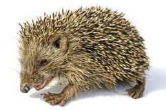 Desert hedgehog Paraechinus aethiopicus Royalty Free Stock Photos