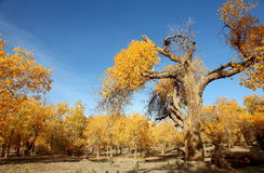 The desert hero- Ejinaqi Populus euphratica. Populus euphratica is a magic tree, its growth is always closely connected with blood and Phoenix, this is a Stock Photography