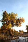 The desert hero- Ejinaqi Populus euphratica. Populus euphratica is a magic tree, its growth is always closely connected with blood and Phoenix, this is a Royalty Free Stock Images