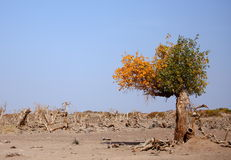 The desert hero-Heart-shaped withered tree in Ejin Royalty Free Stock Photography