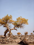 The desert hero-withered tree in Ejinaqi Stock Photo