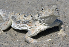 Desert Horned Lizard Stock Photo