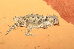 Desert horned lizard royalty free stock photos