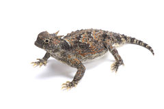 Desert horned lizard (Phrynosoma platyrhinos) Stock Photos