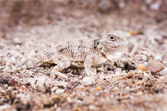 The desert horned lizard (Phrynosoma platyrhinos) is a species o Stock Photo