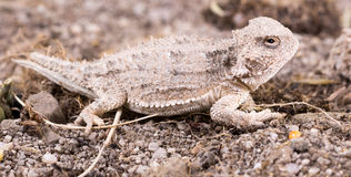 The desert horned lizard (Phrynosoma platyrhinos) is a species o Royalty Free Stock Images