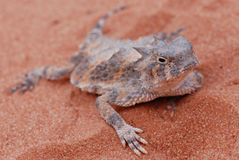 Desert horned lizard at valley of fire. A desert horned lizard (horny toad) in the orange sands of the valley of fire royalty free stock images
