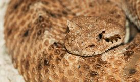 Desert horned viper Royalty Free Stock Photos
