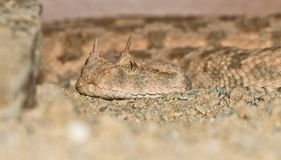 Desert horned viper portrait Royalty Free Stock Photography