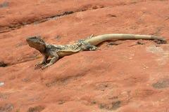 Desert Iguana Royalty Free Stock Photo