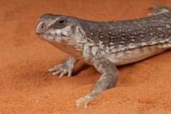 Desert Iguana. The desert iguana (Dipsosaurus dorsalis) is one of the most common lizards of the Sonoran and Mojave deserts of the southwestern United States and Royalty Free Stock Photography