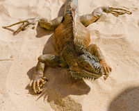 Desert Iguana Stock Photos