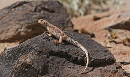Desert iguana. On dark rock stock images