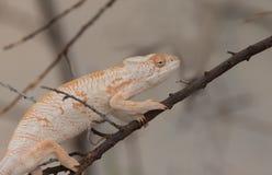 Desert iguana on branch Stock Image