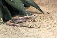 Desert iguana. Or Dipsosaurus dorsalis Stock Image