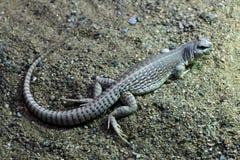 Desert iguana (Dipsosaurus dorsalis). Wildlife animal Royalty Free Stock Photo