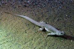 Desert iguana (Dipsosaurus dorsalis). Stock Images