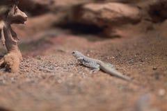 Desert iguana on rocky terrain. Desert iguana dipsosaurus dorsalis on rocky terrain in Duch zoo stock photos