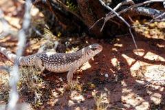 Desert iguana, valley of fire, nv Stock Image
