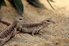 Desert iguanas. Or Dipsosaurus dorsalis Stock Images