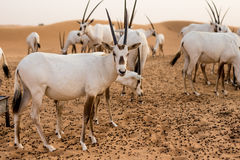 Desert inhabitants Royalty Free Stock Photos