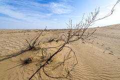 Desert in Iran. Dried shrub on Maranjab Desert in Iran Royalty Free Stock Photography