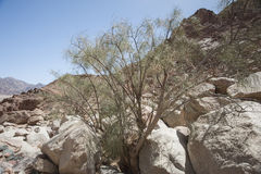 Desert ironwood tree growing between rocks Royalty Free Stock Photo