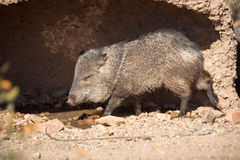 Desert Javelina. A Javelina, or collared peccary, prepares for a midday roll in a muddy hole to escape the desert heat Royalty Free Stock Photos