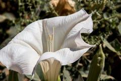 Desert Jimson Weed Stock Images