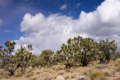 Desert Joshua Tree Stock Photo
