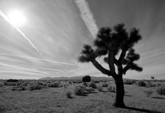 Desert Joshua Tree. A Joshua tree in the Mojave Desert of Southern California with the sun and mountains Stock Photography