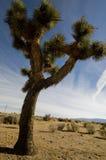 Desert Joshua Tree. A Joshua tree in the Mojave Desert of Southern California Royalty Free Stock Photography