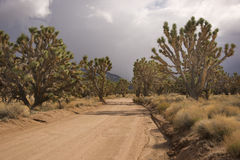 Desert Joshua Tree Forest Stock Images