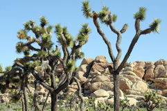 Desert Joshua trees. Joshua Trees set against rock hills and blue skies royalty free stock photos
