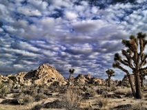 Desert Joshua Trees Stock Photo