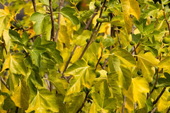 Desert King fig tree with leaves unripe fruit in autumn Stock Image