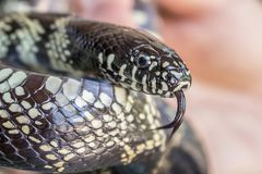 Desert King Snake Black and Yellow Close Up with Tongue Out Royalty Free Stock Photo
