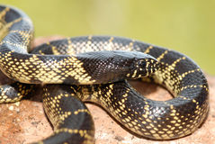 Desert Kingsnake Royalty Free Stock Images